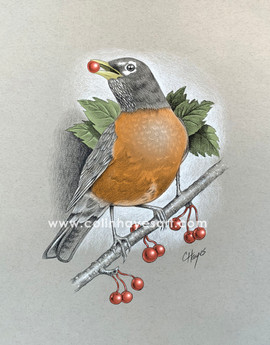 American Robin eating berries