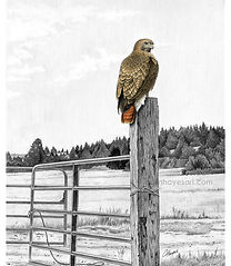 Red-tailed hawk on gatepost