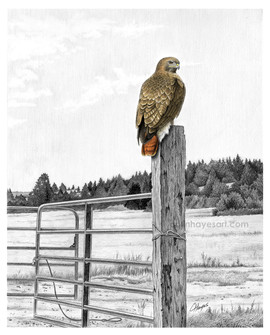 Hawk on Fencepost