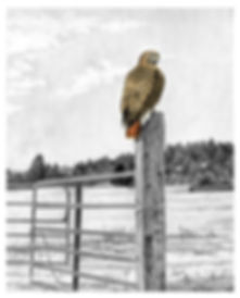 Red-tailed hawk drawing landscape fencepost wildlife art