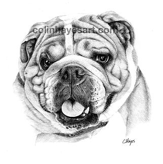 bulldog drawing pet portrat
