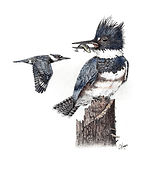 belted kingfisher stipple drawing
