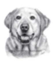 labrador retriever pencil portrait