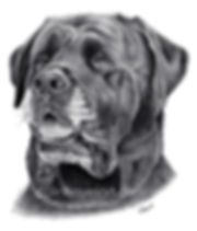 mastiff pencil drawing