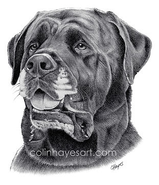 Dog pencil drawing pet portrait