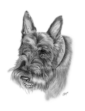 Drawing of a Scottish Terrier