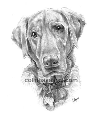 Labrador retriever drawing pet portrait