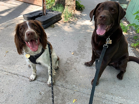 Happy smiling dogs walking