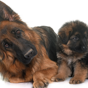 How much are German Shepherds anyway?