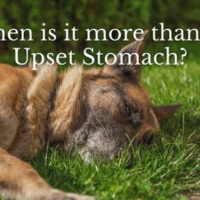 German Shepherd Bloat - More than an Upset Stomach