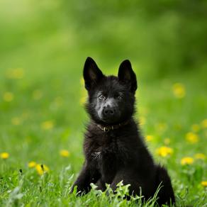 10 Best Foods for German Shepherd Puppies