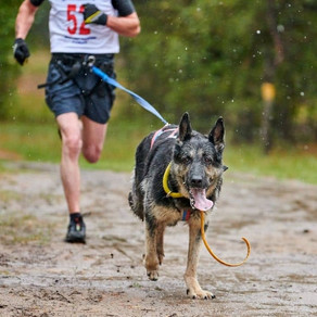 Running with a German Shepherd ~ How to train for a Half-Marathon with Your Dog