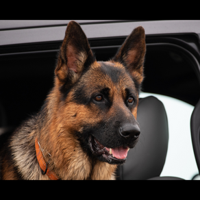 Going on a road trip with your dog? Here's what you need to know