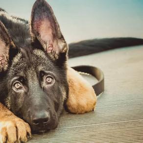 German Shepherd Rescue Guide - How To Prepare