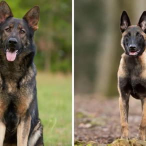 German Shepherd vs. Belgian Malinois