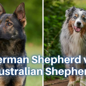 German Shepherd vs. Australian Shepherd: Breed Comparision