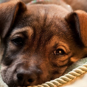 Puppy Diarrhea and Vomiting - Causes and How to Treat it
