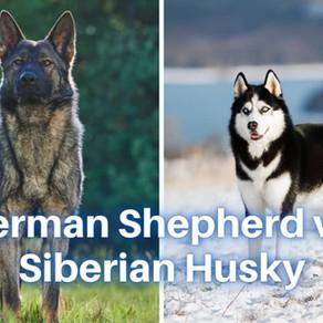 Should I get a German Shepherd or a Siberian Husky?