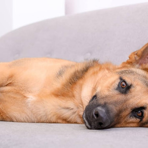 7 Things to Think About When Homing a German Shepherd in an Apartment or Condo