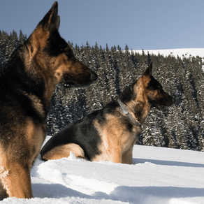 Should I get a Male German Shepherd or a Female German Shepherd?