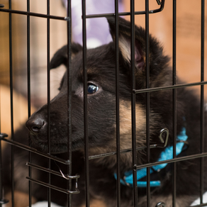 Crate Training a German Shepherd Puppy - What to Expect