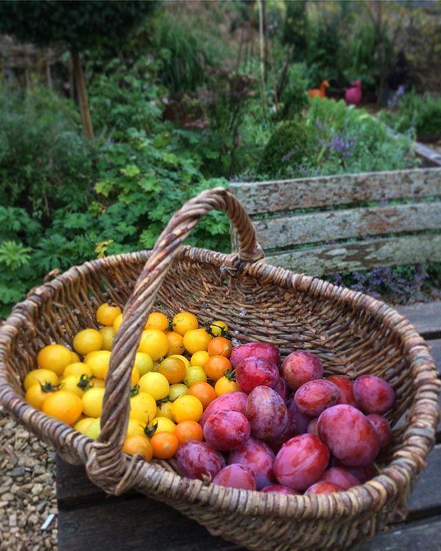 Victoria plum and tomato harvest
