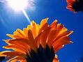 Flower in sunshine.jpg