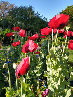 Poppies in the rose garden
