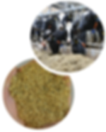 Vaches-etable1.PNG