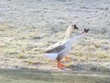 Two white geese with attitude.