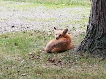 The Wisdom of a Fox