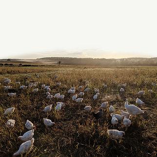 Pasture_Chicken_03.jpg