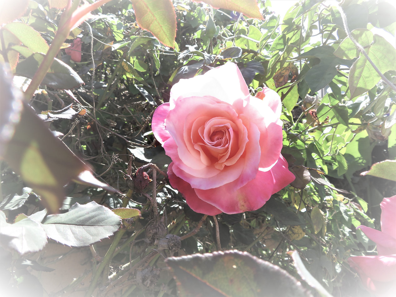 pinkroseprint.jpg