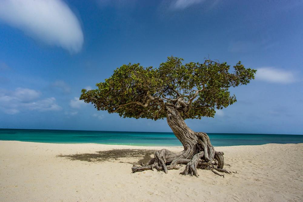 Aruba's Divi Divi Tree