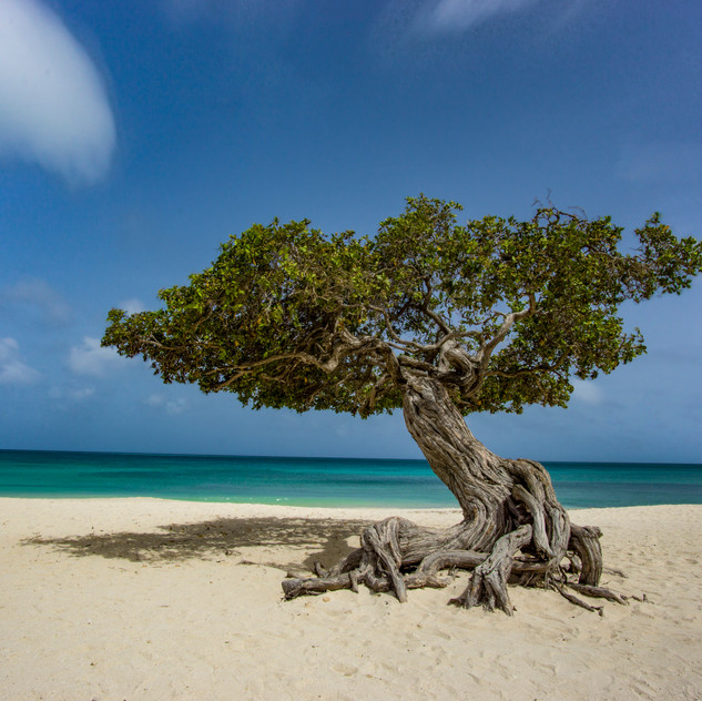 The famous Divi Divi Tree on Aruba's Eagle Beach captured in daylight with a long exposure and a 10-stop ND filter.