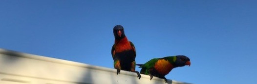 Lorikeets resting in a backyard