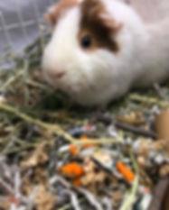 Friends of guinea pig.jpg