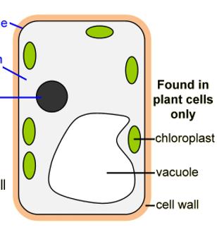 Plant Cells   ks3-science