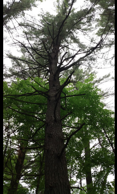 HF5 - jack pine