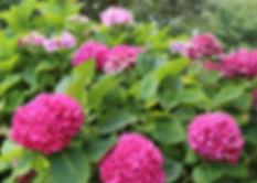 hydrangea-pink-bush.jpg