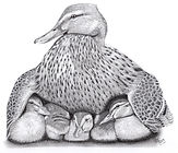 Mother Duck Graphite drawing