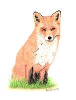 Fox Colour Pencil Drawing
