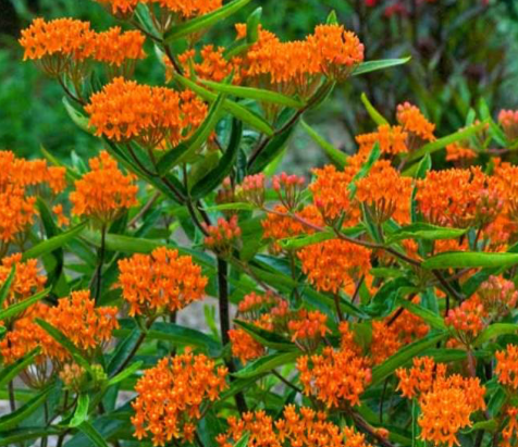 Native Plant Highlight: Butterfly Weed