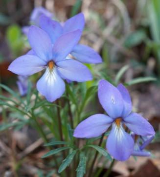 Native Plant Highlight: Bird-Foot Violet