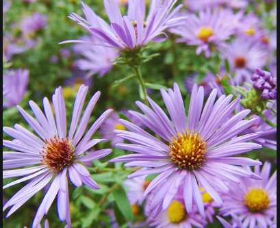 Native Plant Highlight: Aromatic Aster