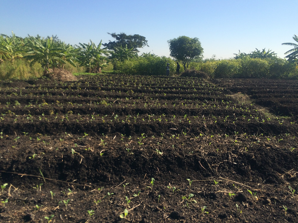 Beautifully tended agro-ecological farm, Marracuene, Mozambique. (Photo: Timothy A. Wise)
