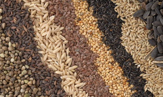 Seed Sovereignty and Climate Adaptation in Malawi