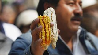 High risks, few rewards for Mexico with Monsanto's maize