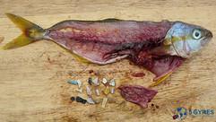 5gyres-microplastic-fish.jpg