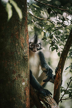 Thomas Leaf Monkey in the rainforest, Indonesia.